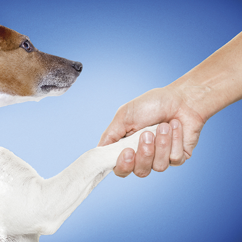 dog and owner handshaking or shaking hands  , dog with paw and looking up to owner, isolated on white background